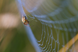 Beautiful close up of spider sitting on his web and hunting. Morning macro of insect in nice light.