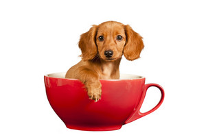 Beautiful Dachshund Puppy In Red Tea Cup