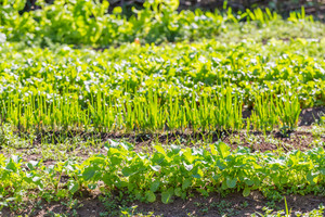 Beautiful ecologic organic garden with small vegetables sprouts. Springtime garden--
