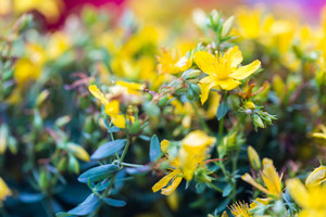 Beautiful flowers of St. John\'s wort. Wild flowers growing on meadow or fields. St. John\'s wort is herb used in alternative medicine or homeopathy