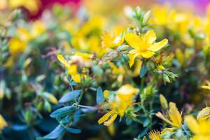 Beautiful flowers of St. John\'s wort. Wild flowers growing on meadow or fields. St. John\'s wort is herb used in alternative medicine or homeopathy