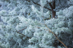 Beautiful frozen branches of trees in winter. Close up of trees in cold morning with frost.