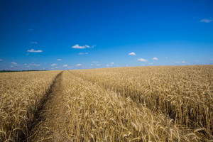 Beautiful landscape of field with grown cereal