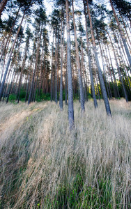 Beautiful landscape of grassy pine forest at sunrise