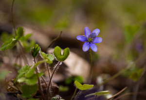 Beautiful liverworts flowers blooming in springtime forest. Close up of wildflowers.