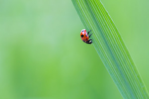 Beautiful macro shoot of ladybug sitting on grass leaf.