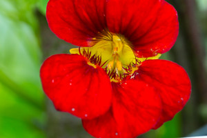 Beautiful nasturtium flowers blooming in garden. Close up of summertime flowers