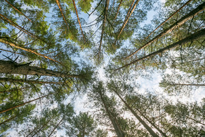 Beautiful pine forest - below view. Forest and blue sky with clouds