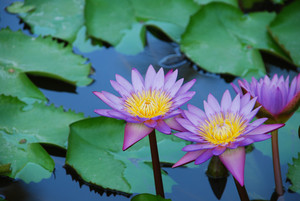Beautiful Purple Waterlilies In A Pond