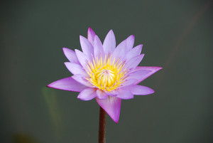 Beautiful Purple Waterlily In A Pond