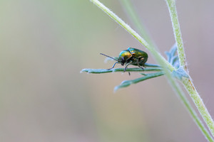 Beautiful shining green beetle sitting on plant. Insect close up