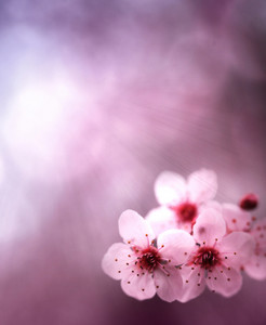 Beautiful spring background with pink flowers and purple blurs.