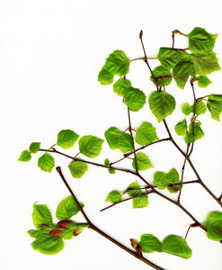 Beautiful Spring Green Leaves On A White Background Isolated