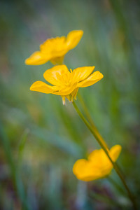 Beautiful springtime buttercups flowers growing on wild meadow.