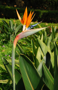 Beautiful Strelitzia Flower