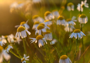 Beautiful summer chamomile flowers in close up