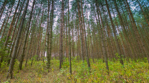 Beautiful summer pine forest. Natural landscape of green forest.