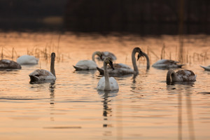 Beautiful sunset lake with swans swiming on water.