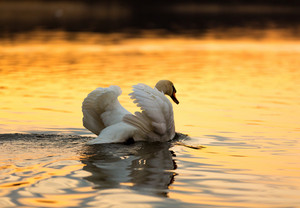 Beautiful sunset or sunrise lake with swan. Mazury lake district landscape with beautiful swan. Nature photography calm scene with golden light.