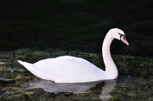Beautiful swan on the lake