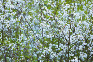 Beautiful white flowers of cherry tree. Close up of fruit tree branch with flowers.