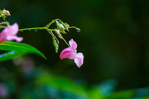 Beautiful wild pink flowers growing in summertime forest.
