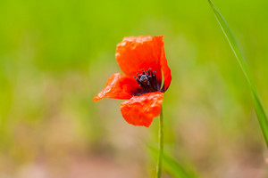 Beautiful wild red poppy flower closeup. Nature macro