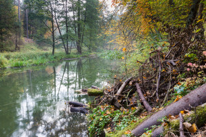 Beautiful wild river photographed in autumn. Natural tranquil scene of river in forest. Place where beavers live.