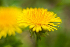Beautiful yellow blooming dandelion flower. Springtime flower background