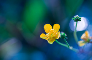 Beautiful yellow buttercup flower macro. Close up of yellow flower growing on meadow.