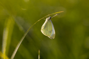 Beautiful yellow butterfly hanging on grass in morning light. Insect portrait useful as background