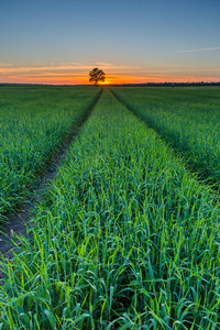 Beautiful young green field at late springtime photographed after sunset. Polish calm countryside