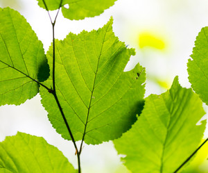 Beautiful young green leaves in late springtime. Nature background