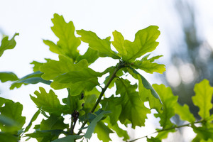 Beautiful young oak leaves in close up. Nature background of green leaves growing in forest