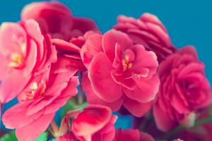 Begonia flower on blue background