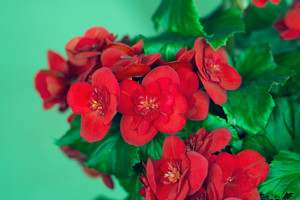 Begonia flower on green background