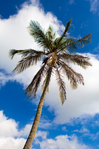 Bermuda Palm Tree