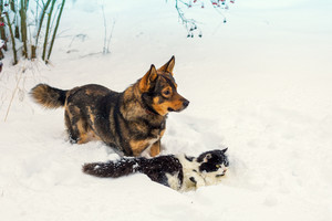 Big dog and black and white cat playing in snow