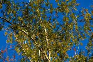 Birch tree detail. Natural background