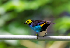 Bird Paradise Tanager