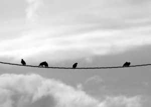 Birds Starlings On Wire