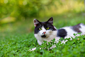 Black and white cat lying in clover
