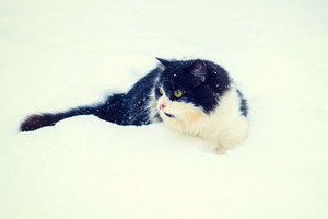 Black and white cat walking in the snow