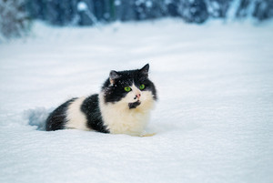 Black and white Cat walks in snow