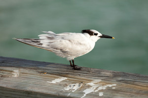 Black and white sand piper bird with a yellow tipped beak as spotted on the Clearwater beach pier in Florida USA.