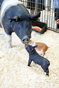 Black baby pig in a pigsty greeting its mother.