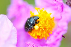 Black Bug On Violet Flower