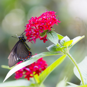 Black butterfly perched on a flower