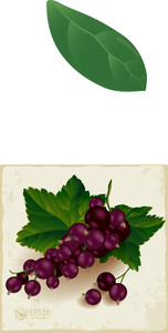 Black Currant Cluster With Green Leaves. Vector.