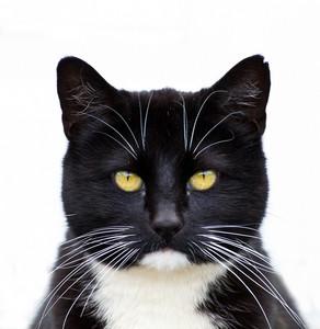 Black Tuxedo Cat 144